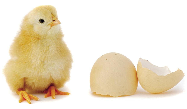 el pollet es fa gallineta